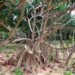 木の精霊キムジナー